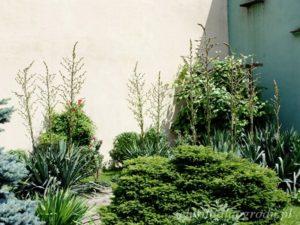 Juka ogrodowa