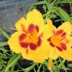 żółte i pomarańczowe byliny