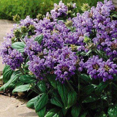 niebieskie i fioletowe byliny
