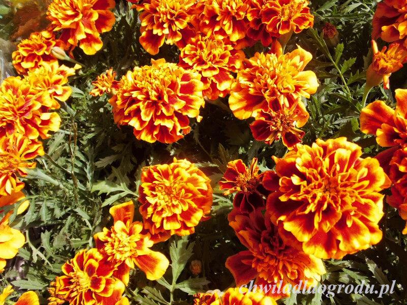 Przepiękne Letnie Kwiaty Ogrodowe Najciekawsze Odmiany