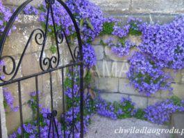 rośliny na murki kwiatowe