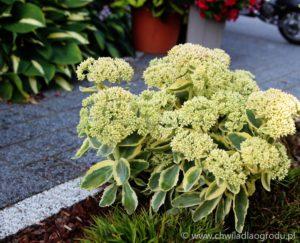 Rozchodnik 'Autumn Charm' -początek kwitnienia